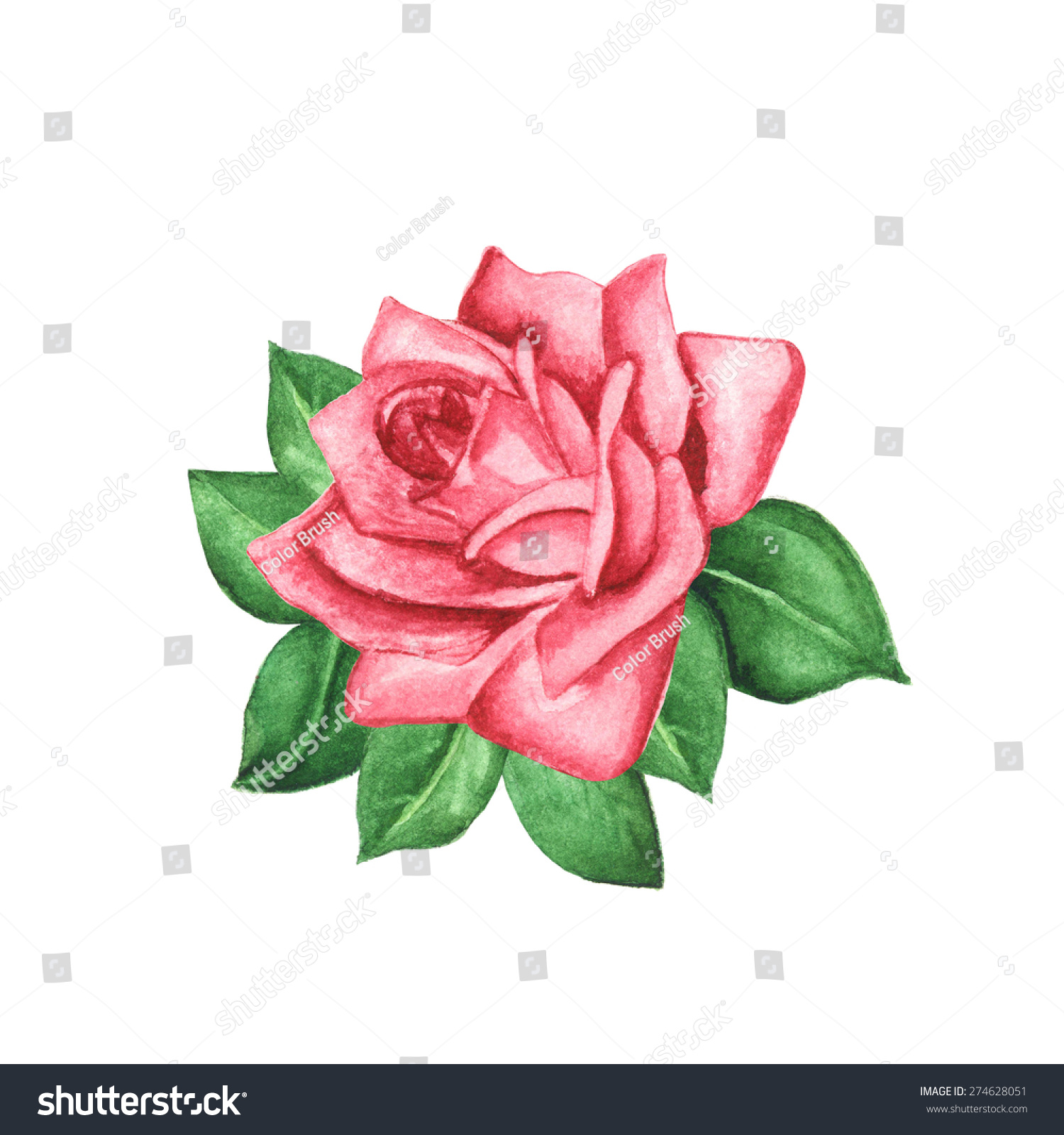 Watercolor pink rose flower with green leaves closeup isolated on ...