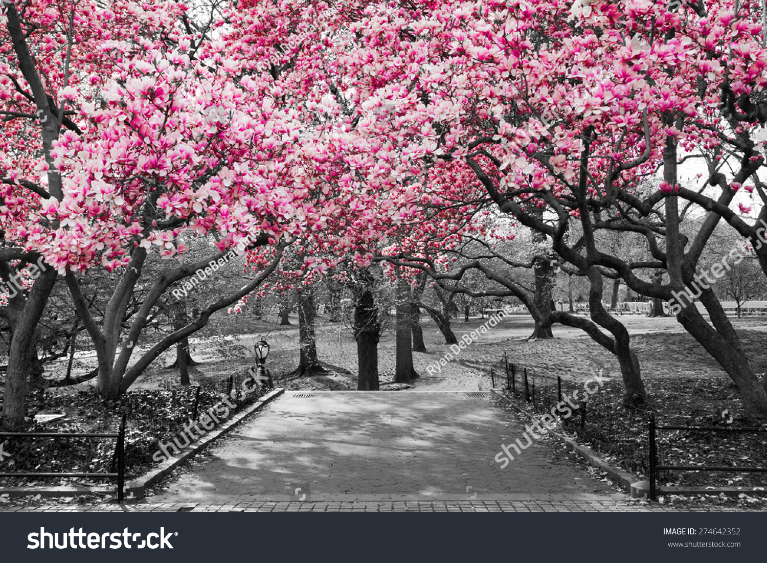 Pink blossoms in central park black and white landscape new york city