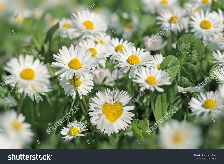 Heart daisy flower beautiful daisy flowers stock photo 274718600 heart in daisy flower beautiful daisy flowers izmirmasajfo