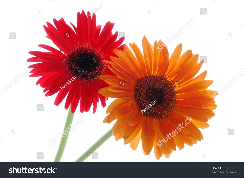 Red Orange Daisy Flower White Background Stock Photo Edit Now