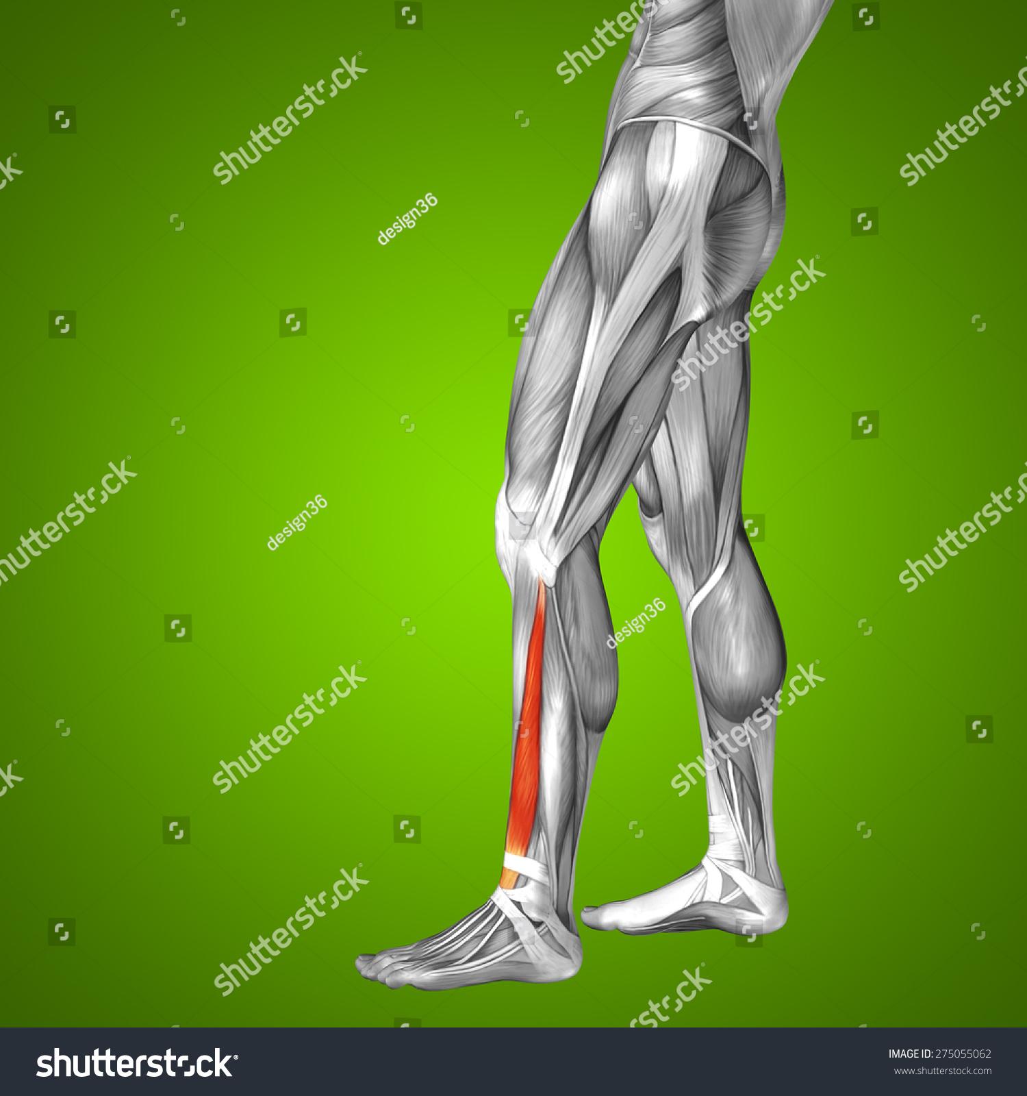 Conceptual 3 D Extensor Digitorum Longus Human Stock Illustration ...