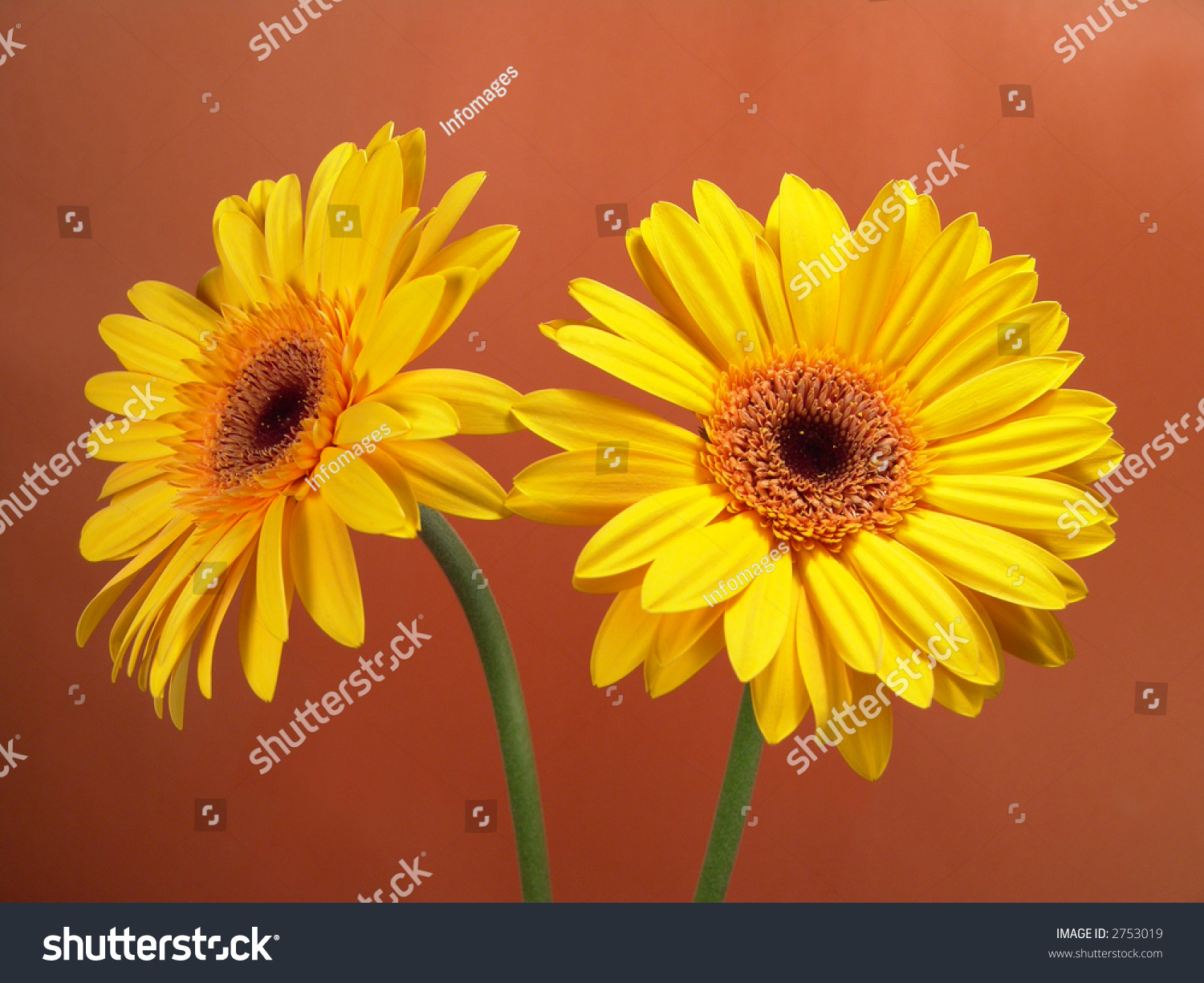 Portrait Of Vibrant Yellow Gerbera Daisy Flower Heads With A Red