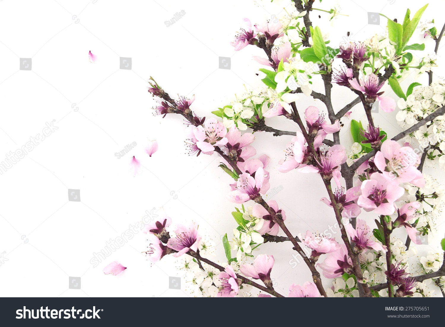 Blooming Sakura Spring Flowers On White Background With Space For