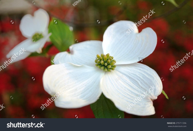 White Dogwood Cornus Flower On Red Stock Photo Edit Now 275711396