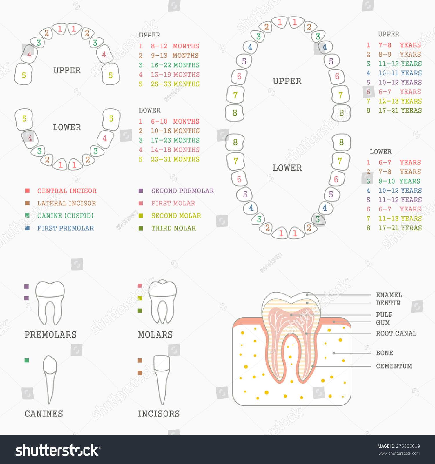 Tooth Anatomy Chart - Wiring Diagrams •