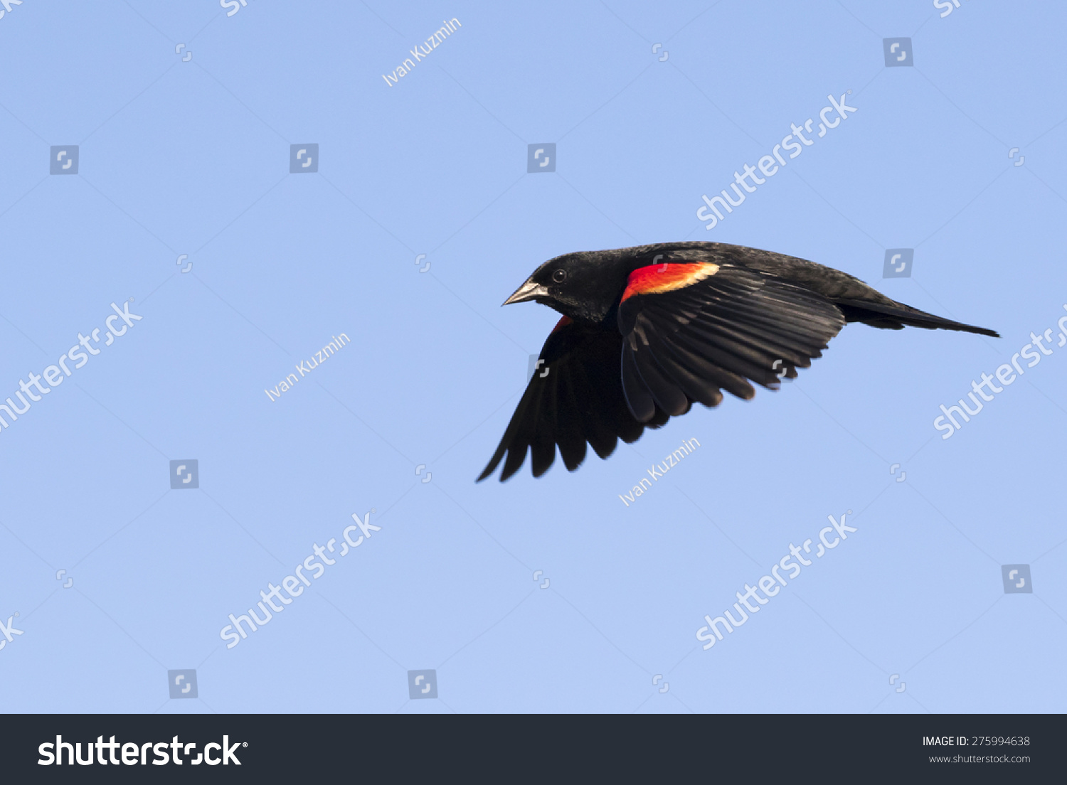 Red Winged Blackbird Male Flying