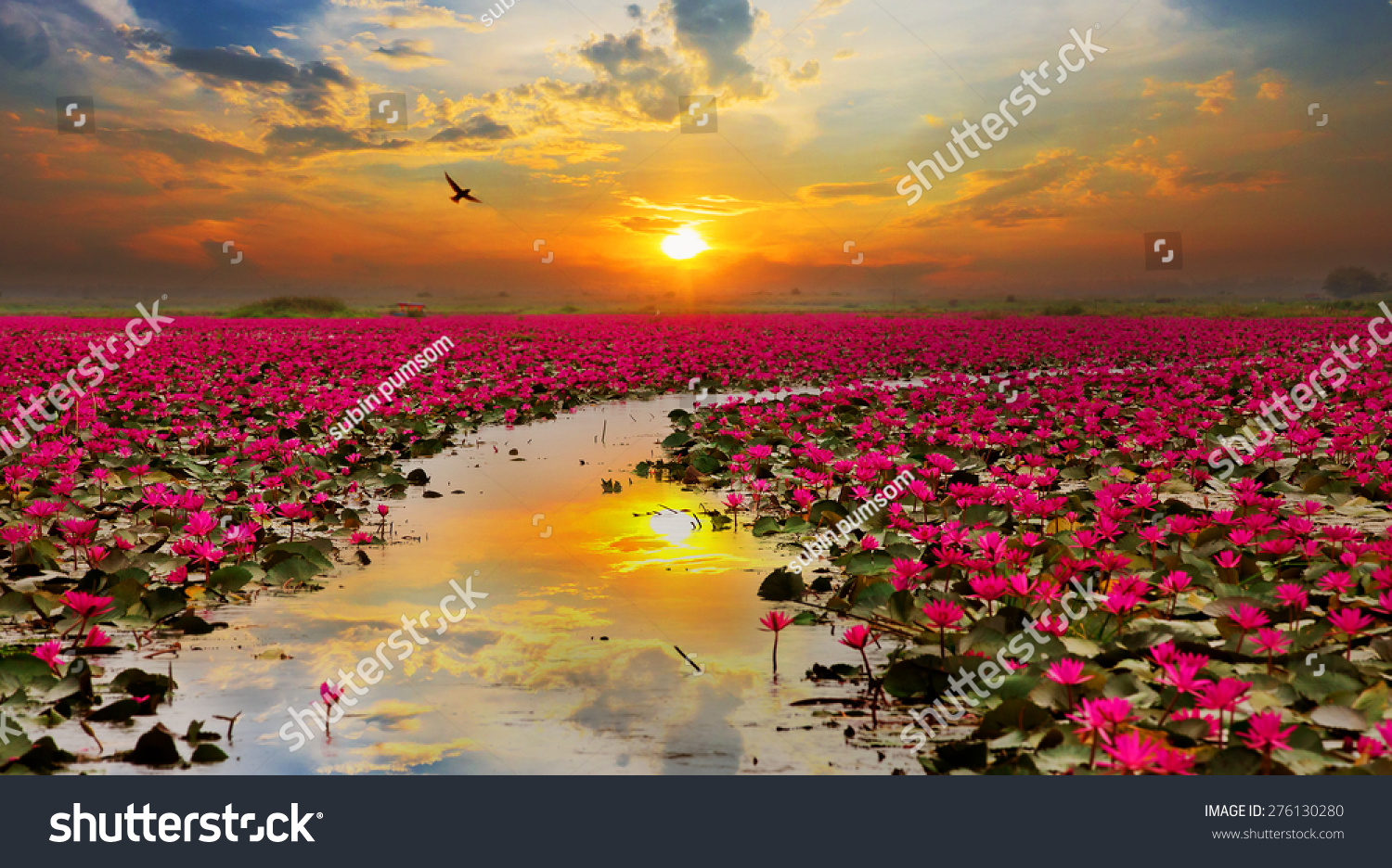 Sunshine Rising Lotus Flower Thailand Stock Photo (Royalty Free ...