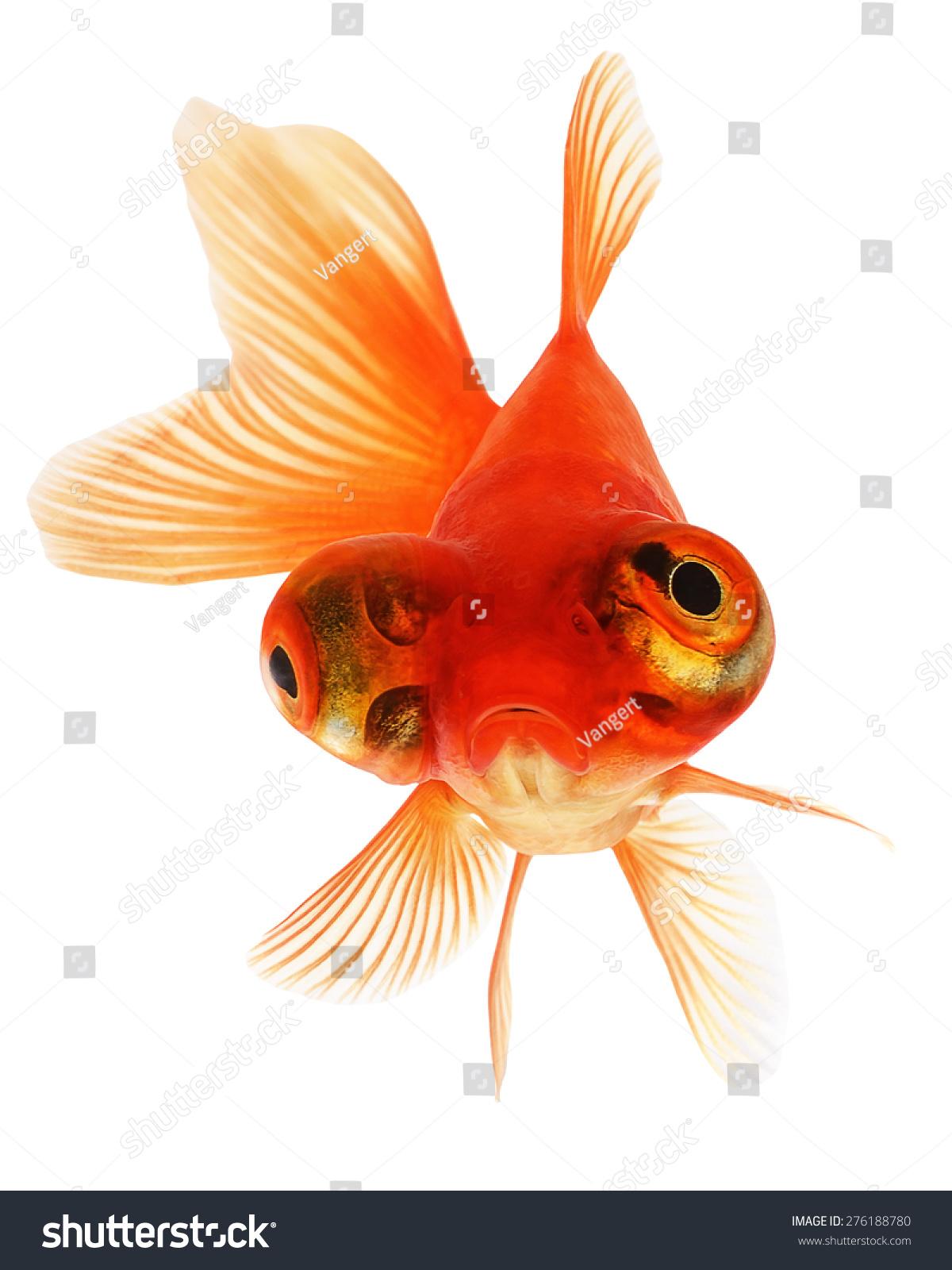 Telescope Eye Goldfish Isolated On White Stock Photo (Royalty Free ...