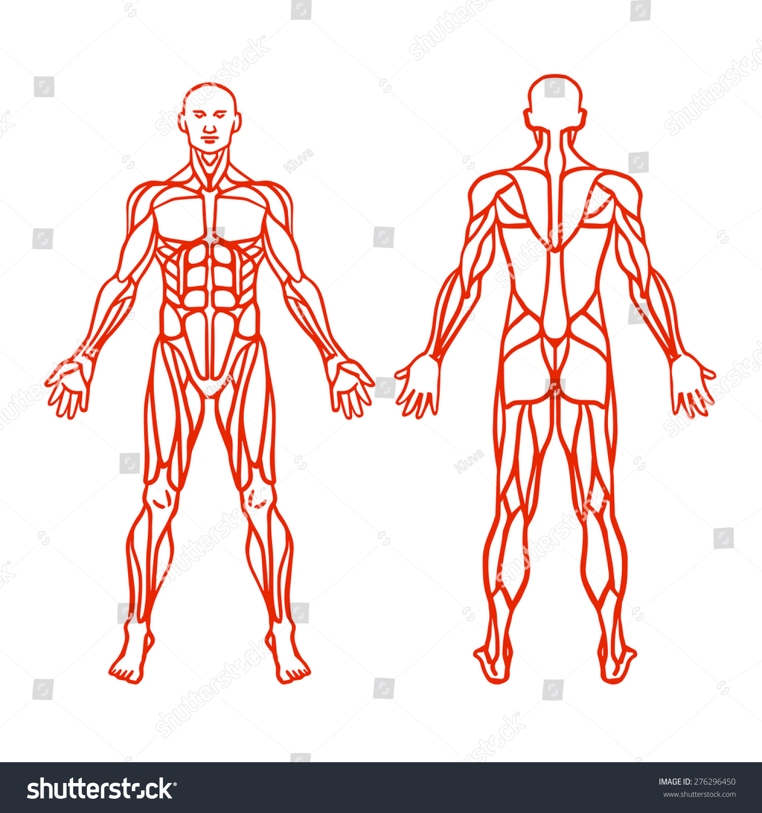 Anatomy Male Muscular System Exercise Muscle Stock Vector HD ...