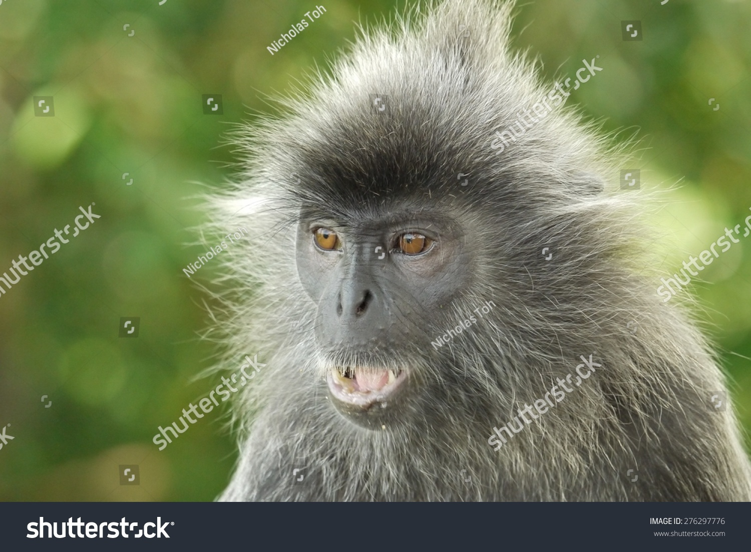 Portrait of a Silver Leaf Monkey which is an endangered species of monkey Photo was taken in Malaysia