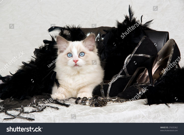 Beautiful Ragdoll Kitten Black Feather Boa Stock