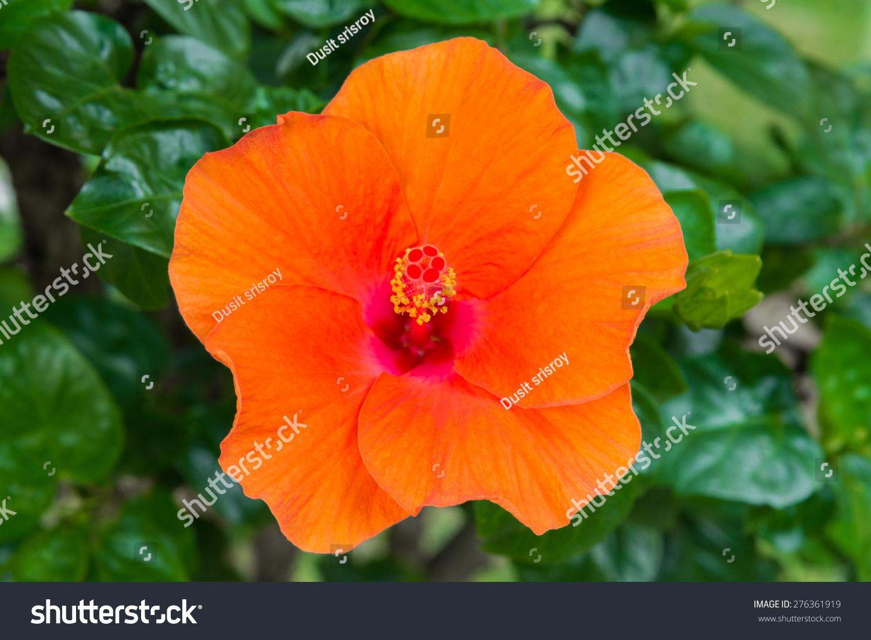 Macro Of Orange China Rose Flower Chinese Hibiscus Hibiscus Rosa