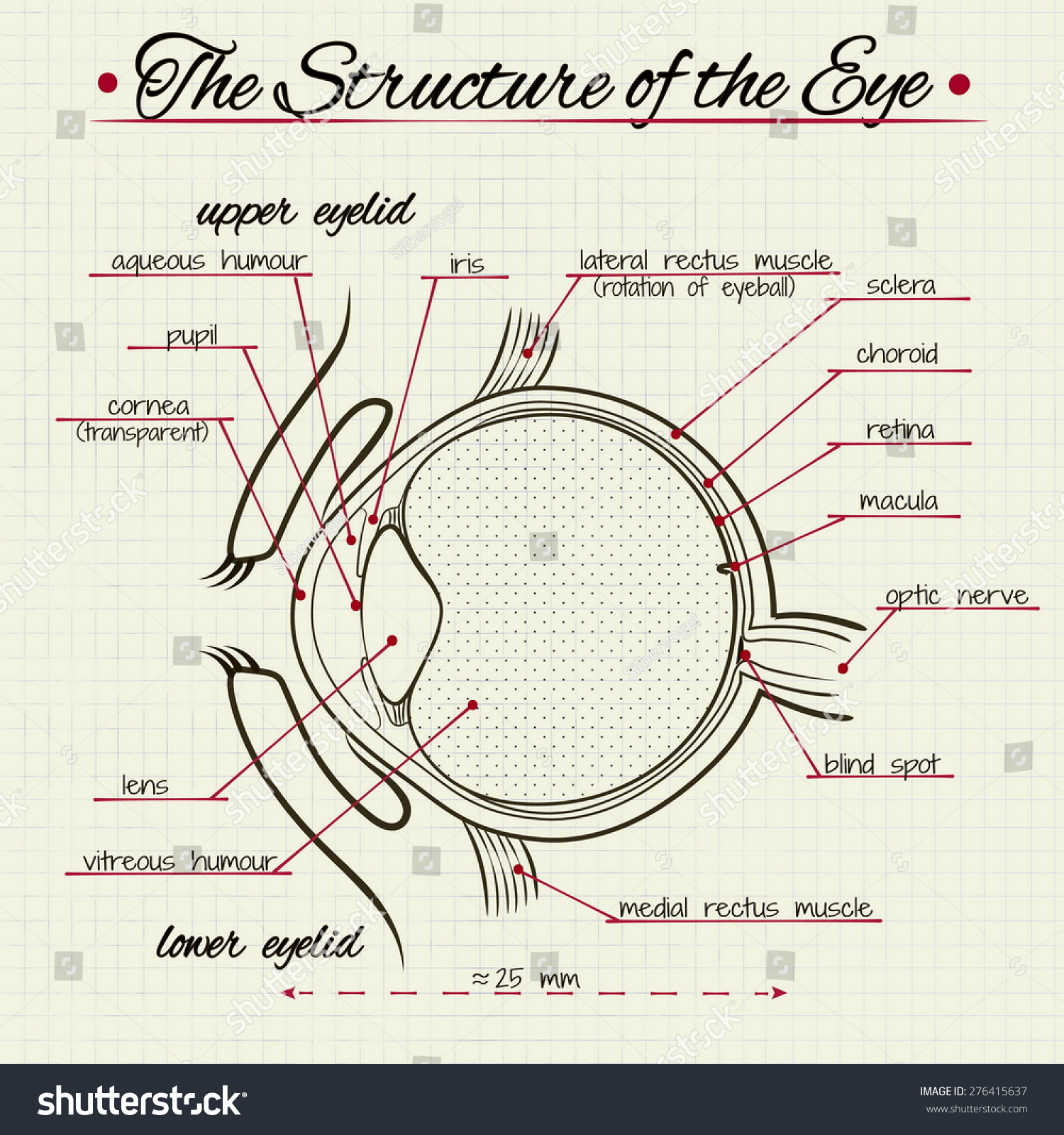 Vector Drawing Structure Human Eye Stock Vector 276415637 - Shutterstock