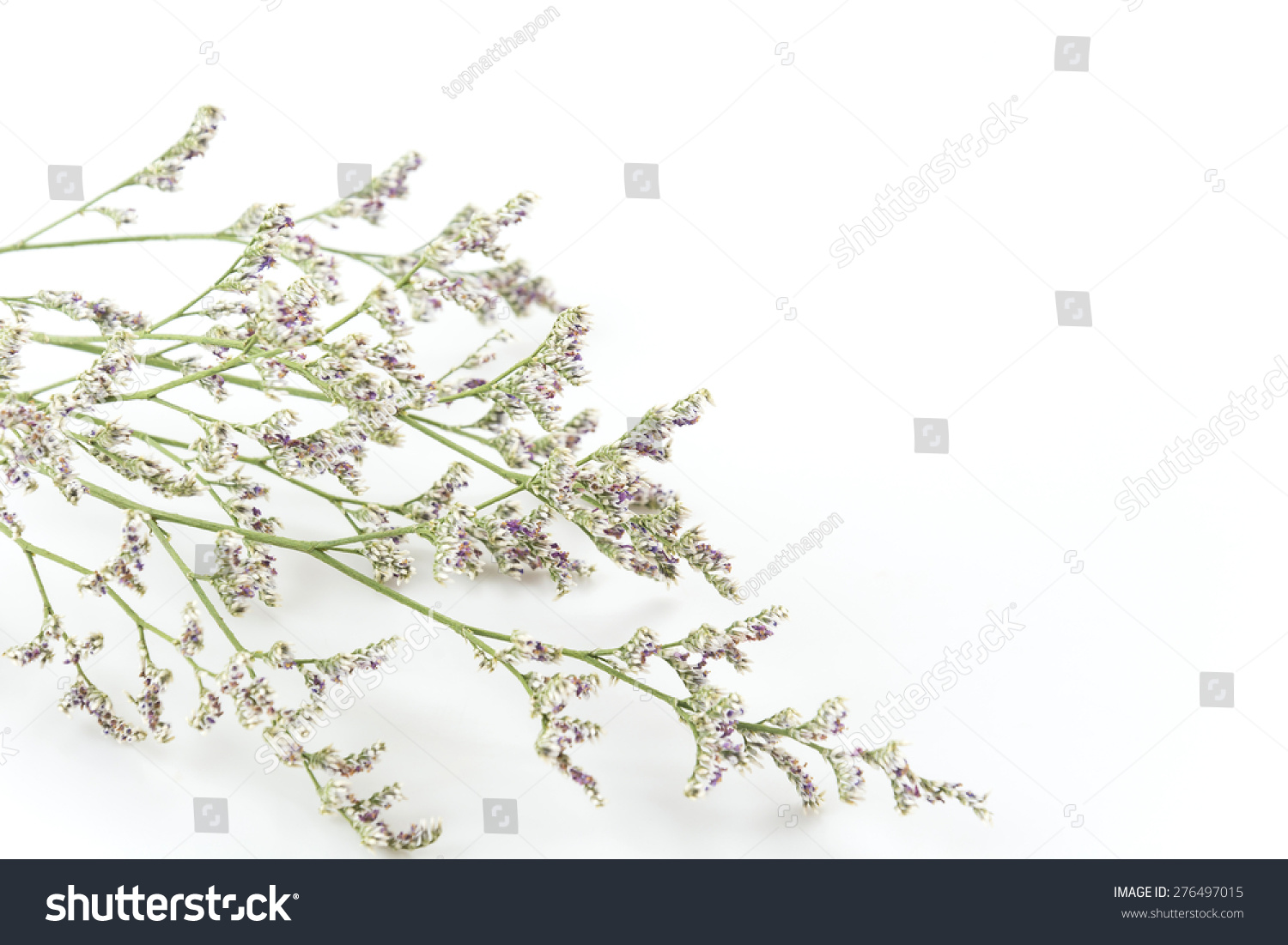 Caspia Filler Flowers On White Background Stock Photo Edit Now