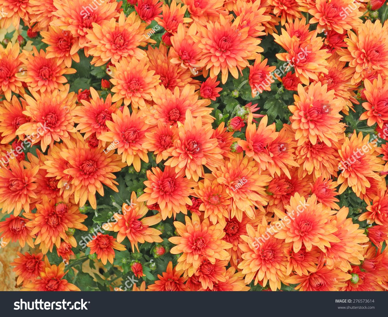 Orange Aster Flowers Background Stock Photo (Royalty Free) 276573614 ...