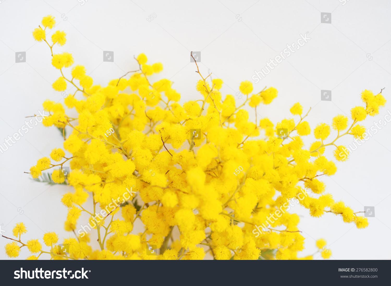Royalty Free Yellow Mimosa Flowers Of Acacia 276582800 Stock Photo