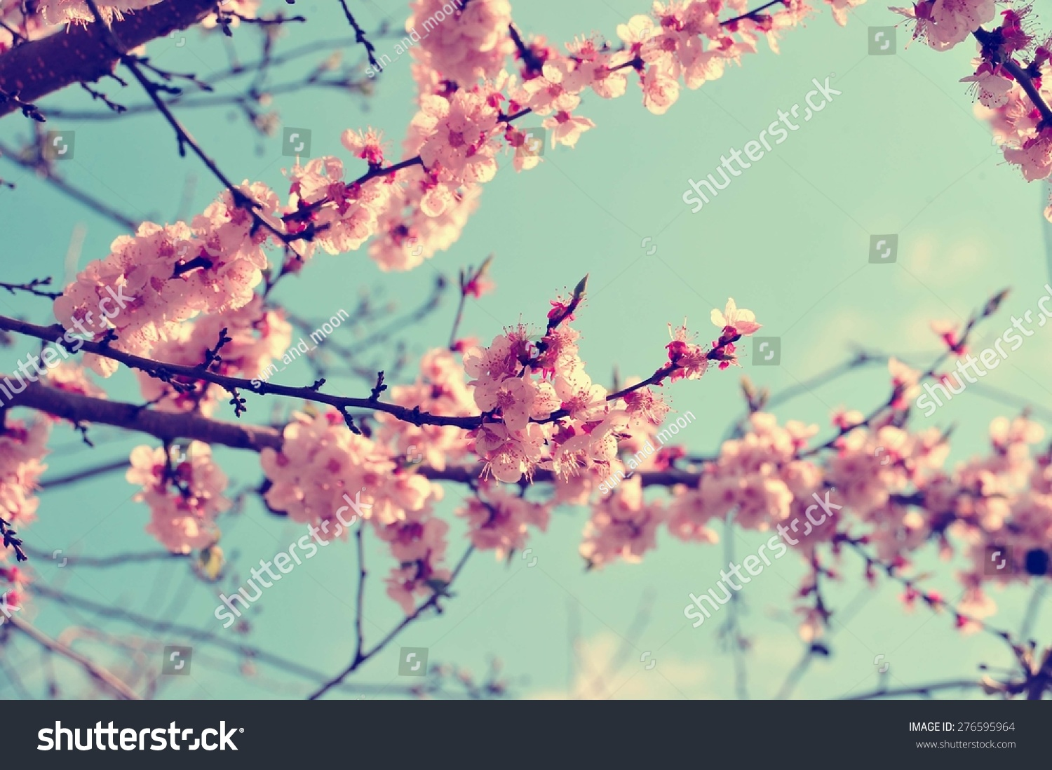Royalty Free Apricot Tree Branch With Flowers 276595964 Stock