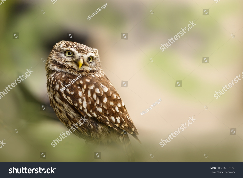 screech-owl in the wood