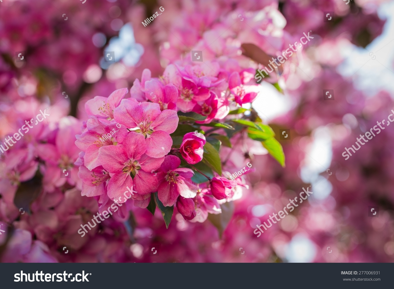 Sakura Tree Blossoms At Spring Ez Canvas