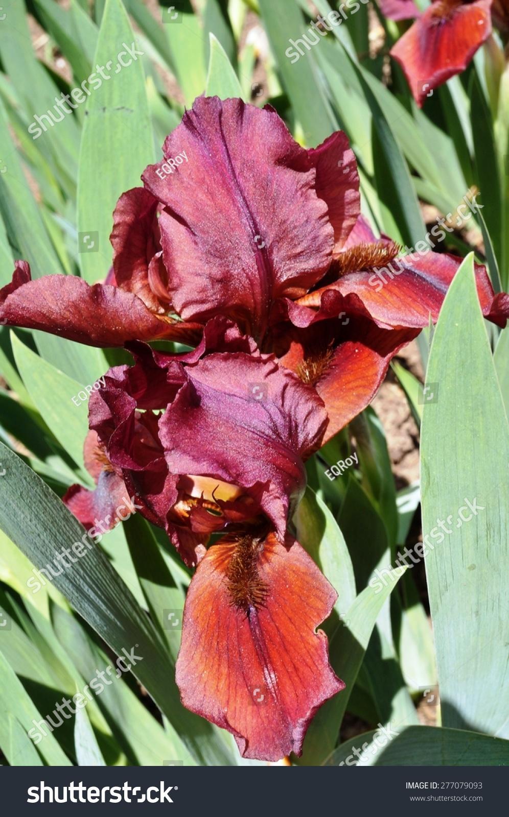 Burgundy Red Bearded Iris Flower Bloom Stock Photo 100 Legal
