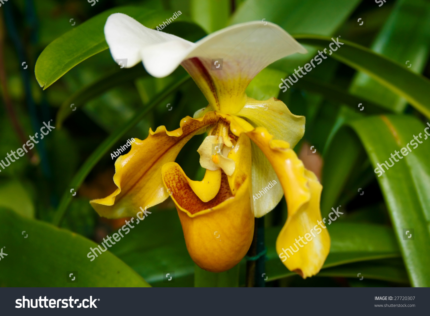 Yellow Slipper Orchid Stock Photo Safe To Use 27720307 Shutterstock