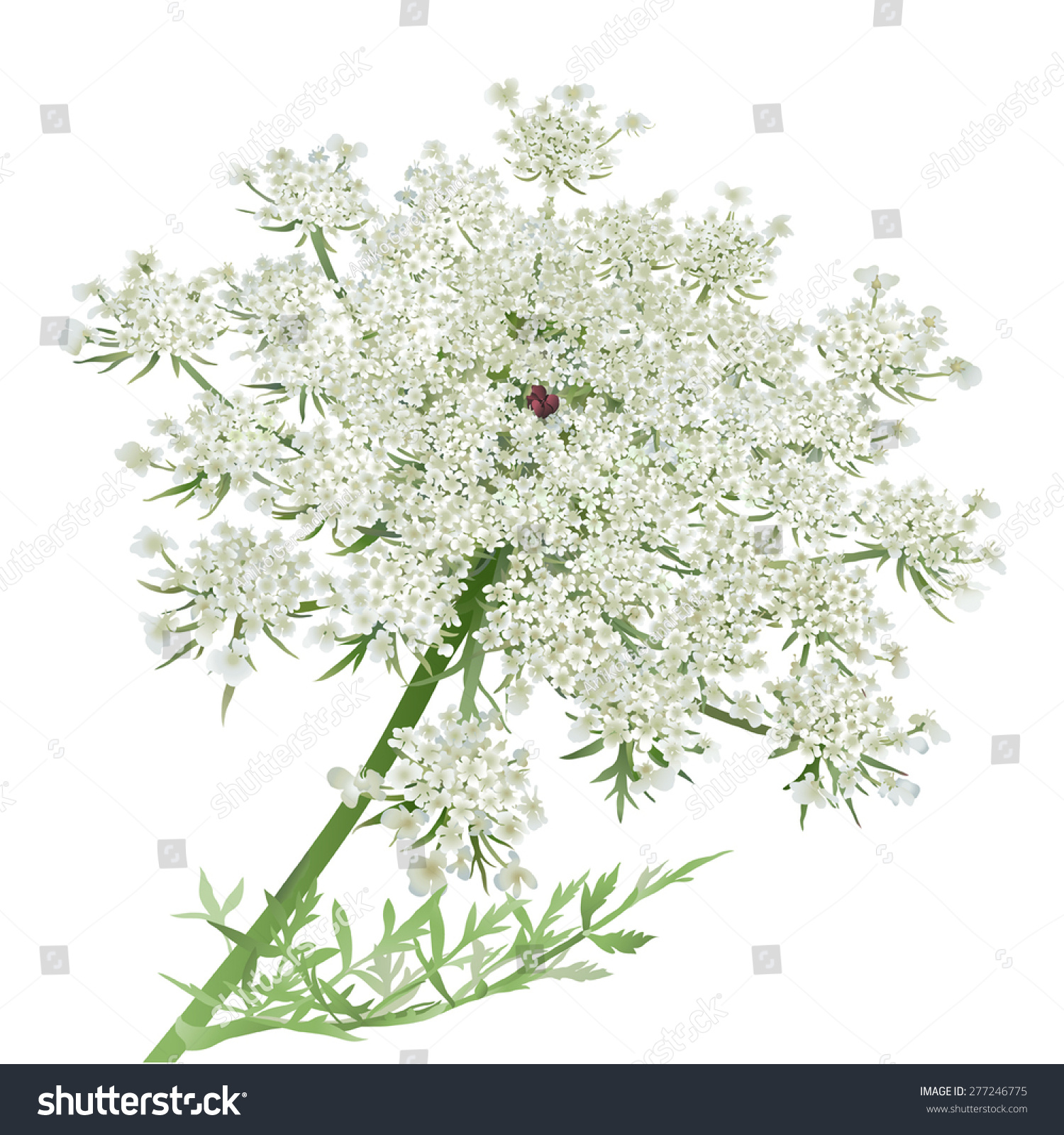 cow parsley - Clip Art Library