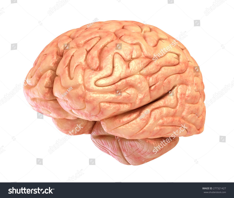 Human Brain Model Isolated Stock Illustration 277321427 - Shutterstock