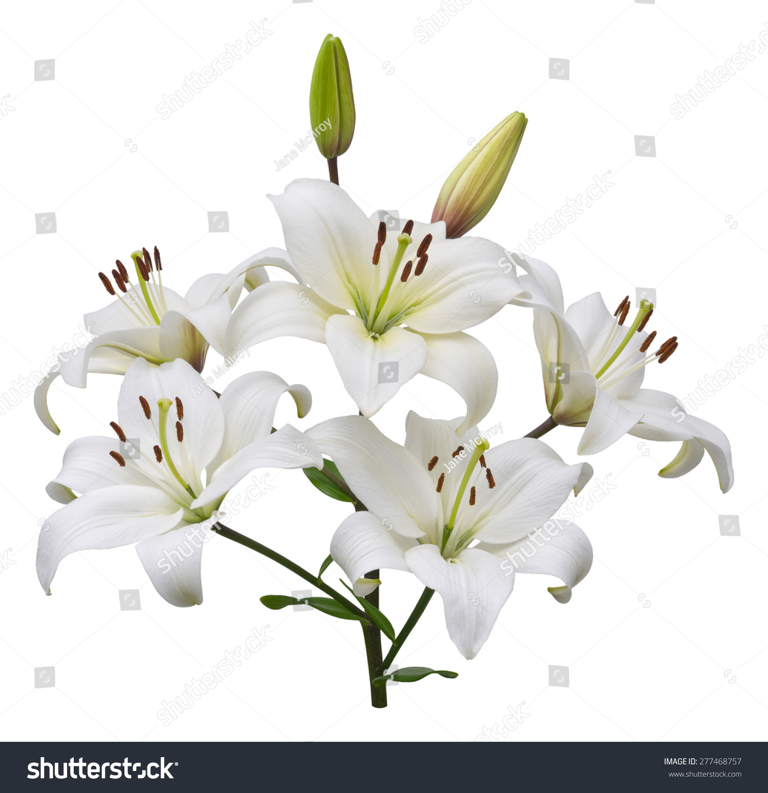 Asiatic Lily Plant Five Flowers Two Stock Photo Edit Now 277468757