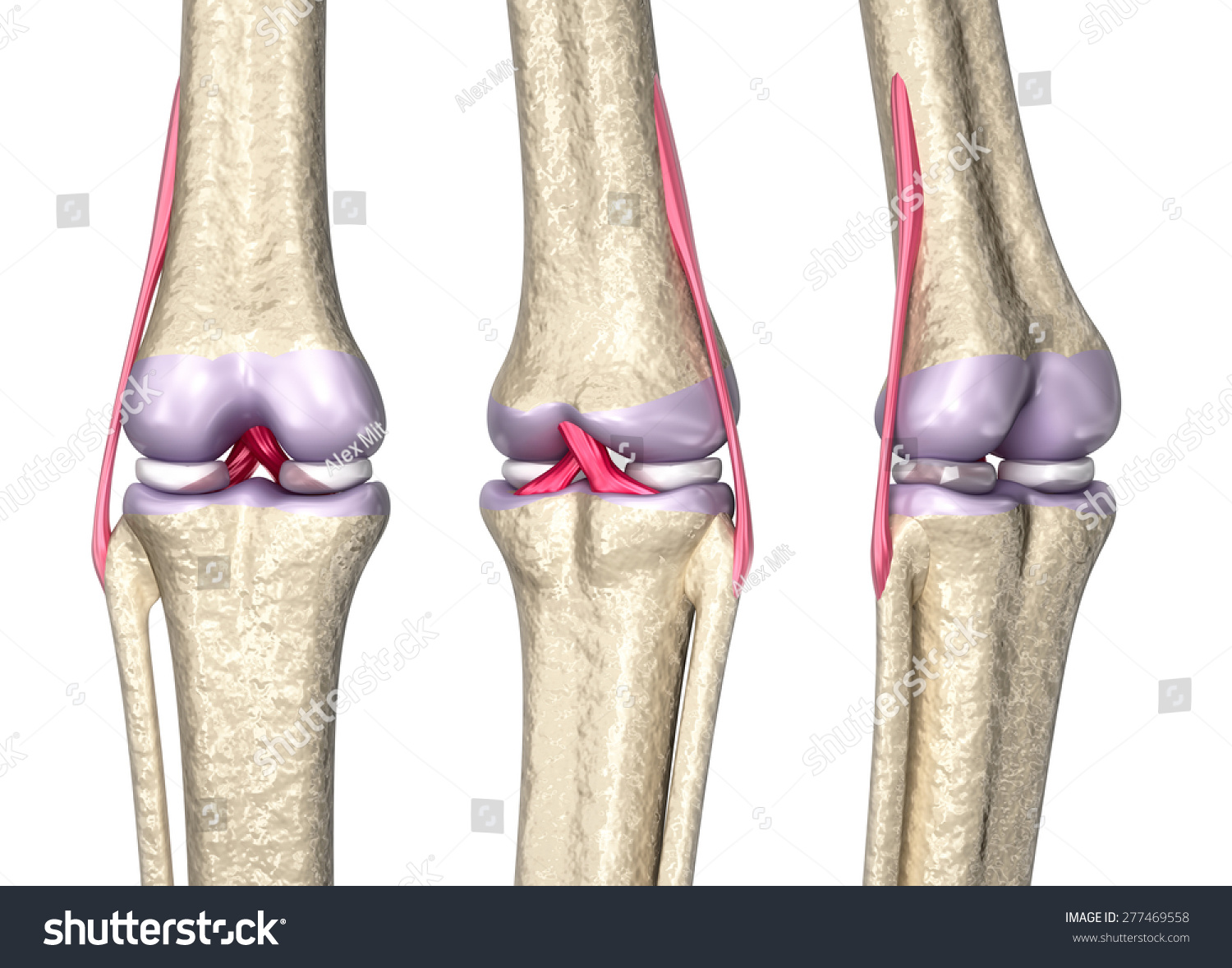 Knee Joint Anatomy 3 D Model Stock Illustration 277469558 - Shutterstock