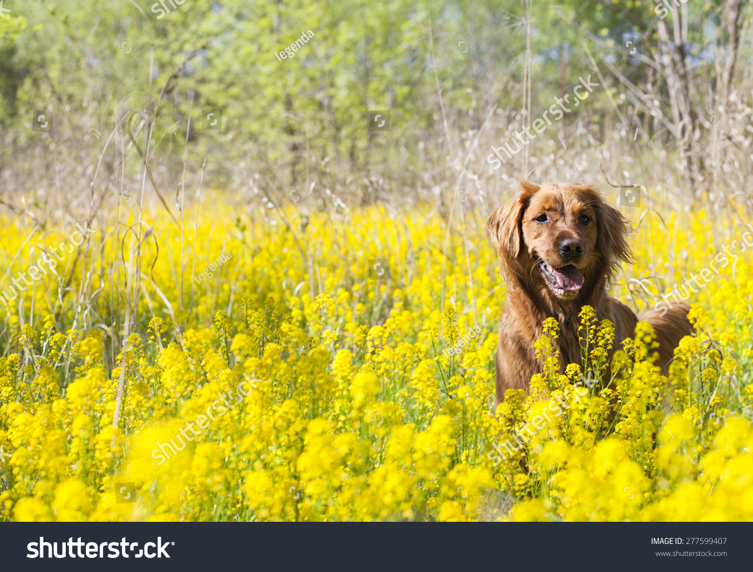 Beautiful Dog Wood Yellow Flowers Stock Photo Download Now