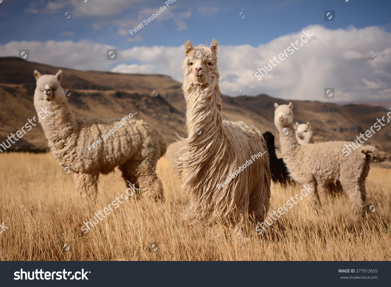 Llamas (Alpaca) in Andes Mountains, Peru, South America #277912655