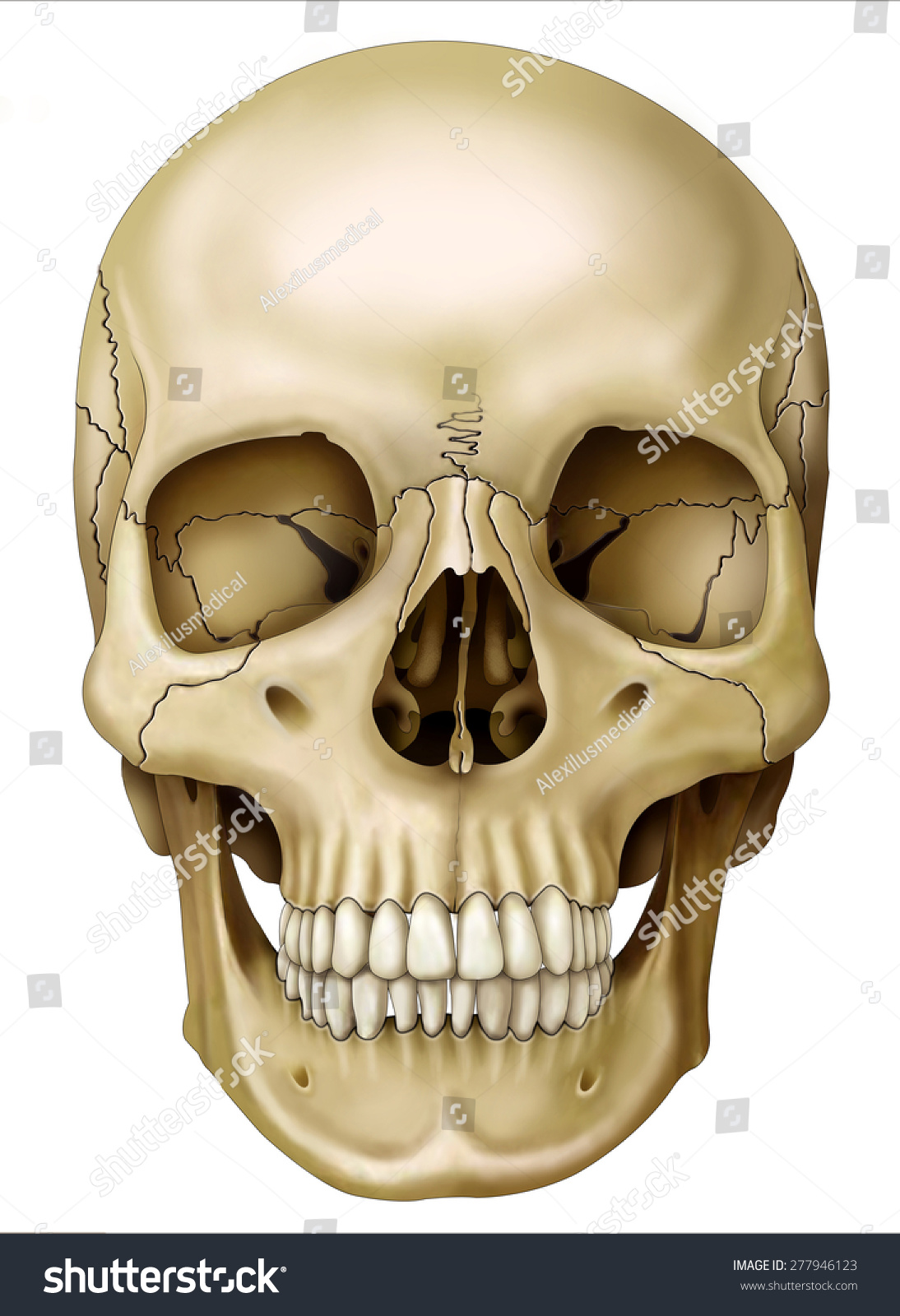 Front View Human Skull Stock Illustration 277946123 Shutterstock