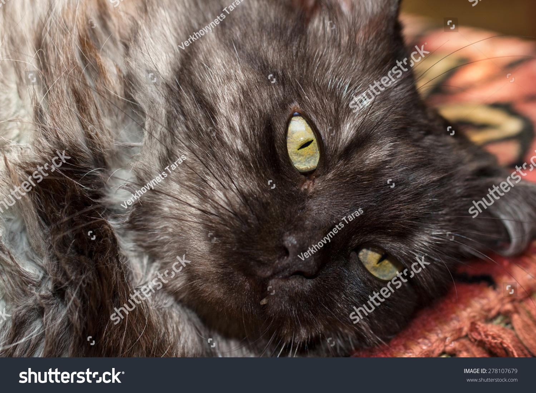 Closeup Fluffy Turkish Angora Cats Snout Stock Photo Edit Now