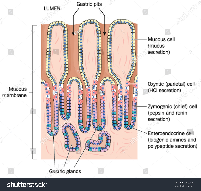 Gastric Pits Glands Plus Secretory Cells Stock Vector 278183039 ...