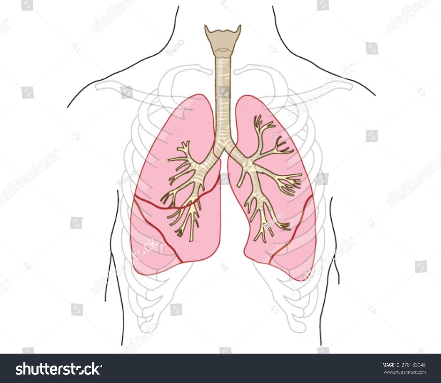 Drawing Lungs Trachea Bronchi Bronchioles Chest Stock Vector