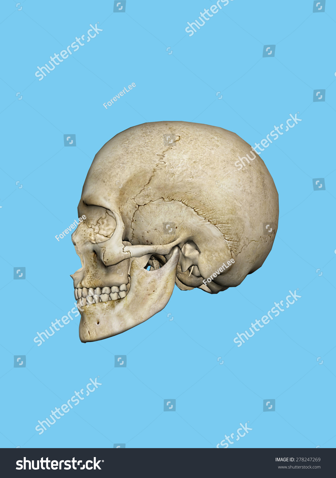 Skull Human Male Featuring Mandible Occipital Stock Illustration ...