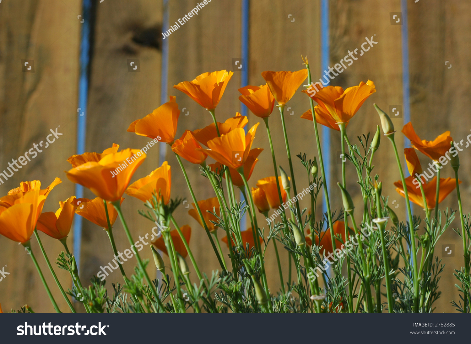 California State Flowergolden Poppyat Low Angle Stock Photo Edit
