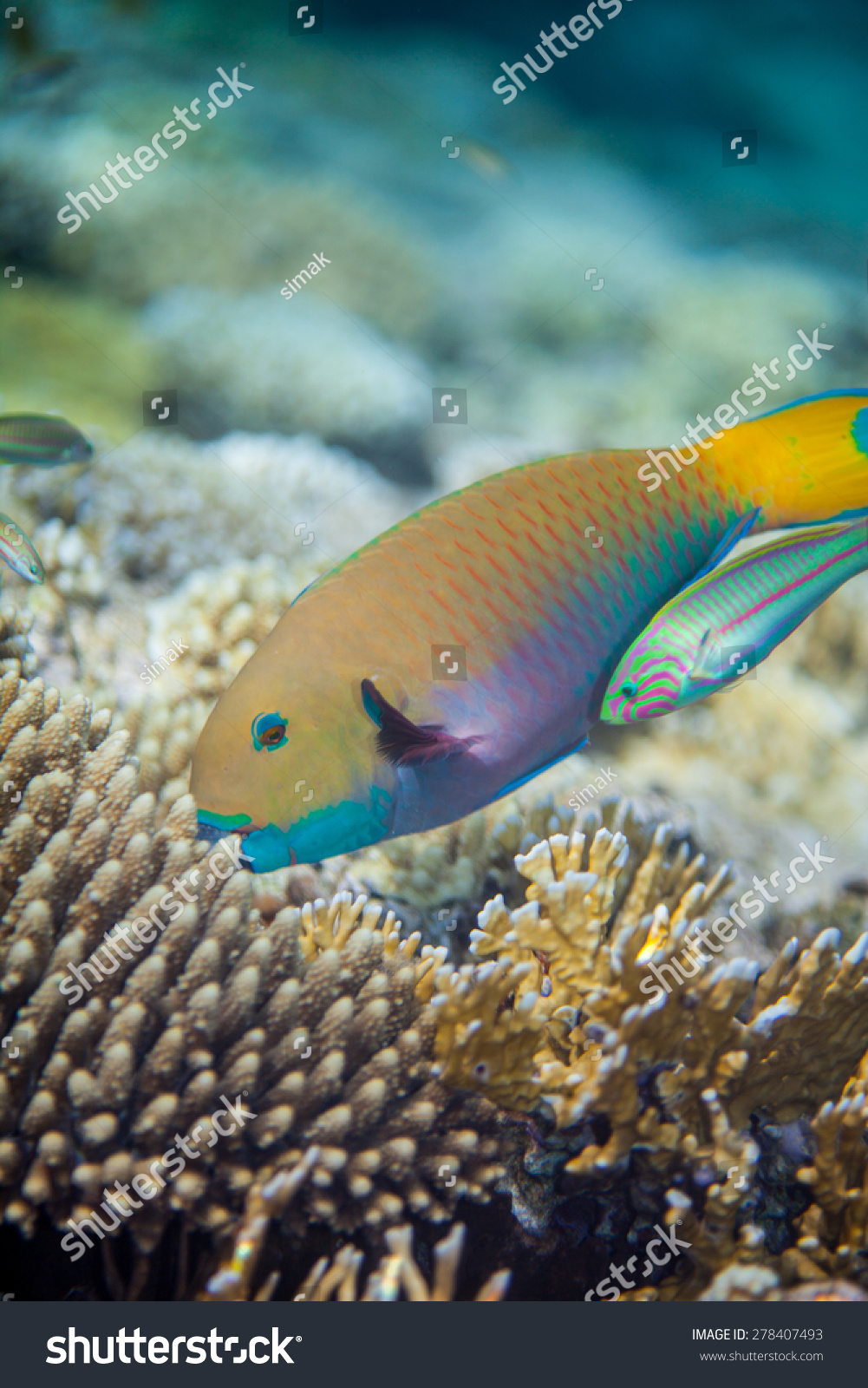 Big yellow scarus fish eating corals stock photo 278407493 for Big fish in the ocean