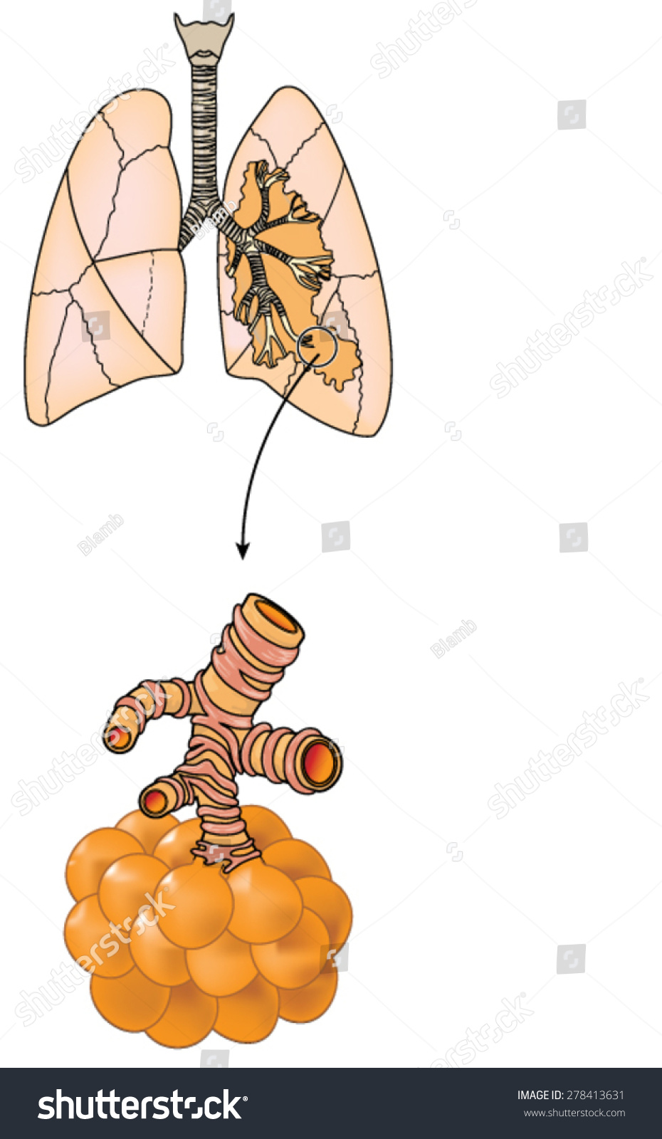 Drawing Lungs Showing Trachea Bronchi Bronchioles Stock Vector