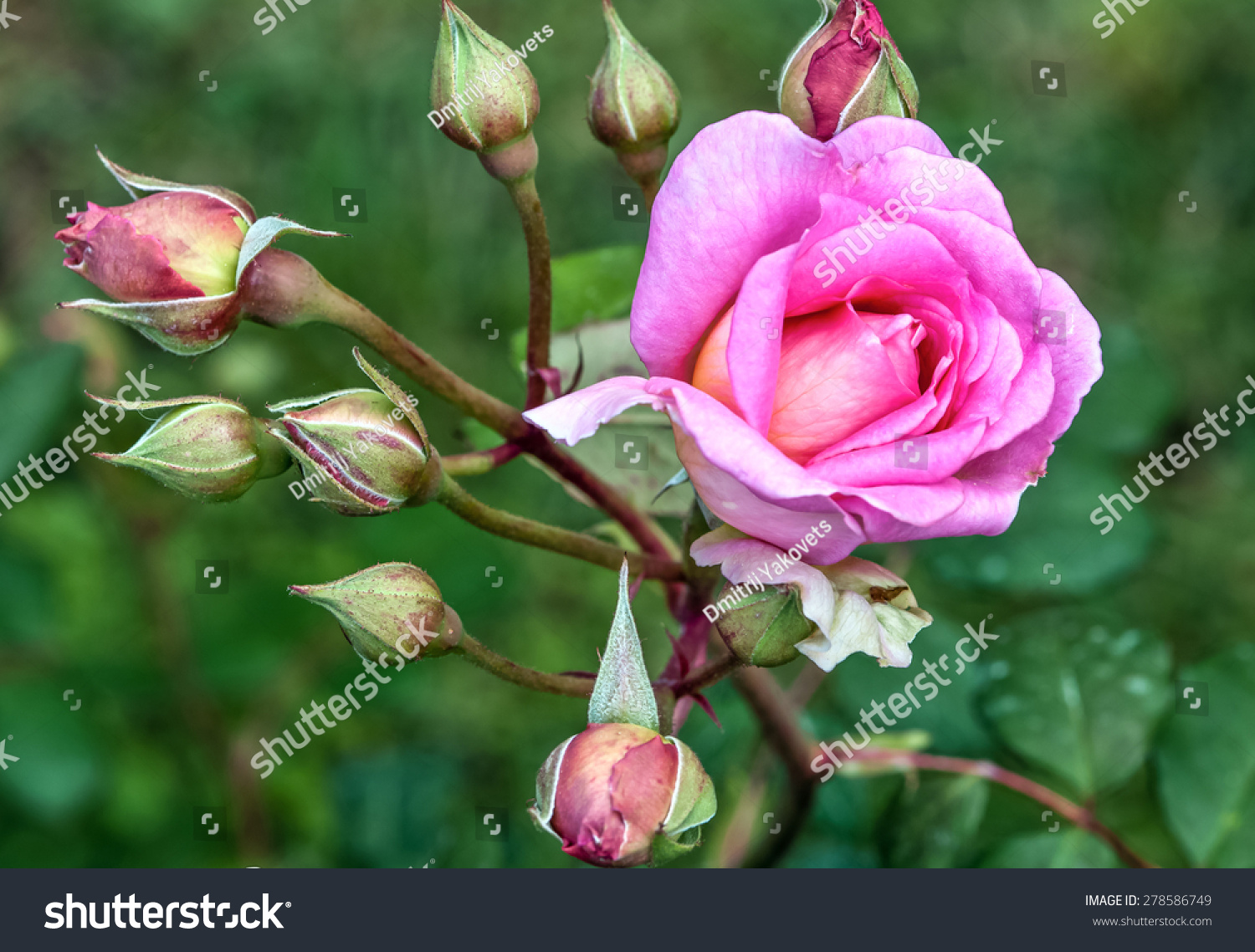 Beautiful Pink Rose Flowers And Buds Stock Photo 278586749