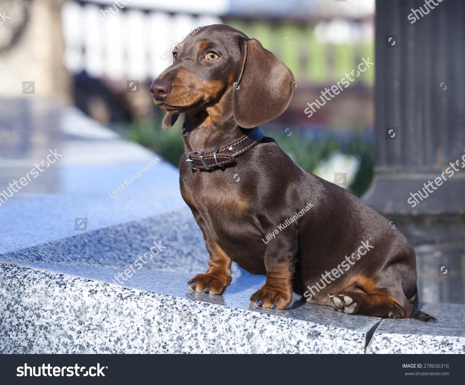 Dachshund Puppy Chocolate Color Stock Photo Edit Now 278656316
