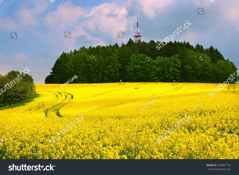 Beautiful Scenery Yellow Rapeseed Flowers Field Stock Photo Edit