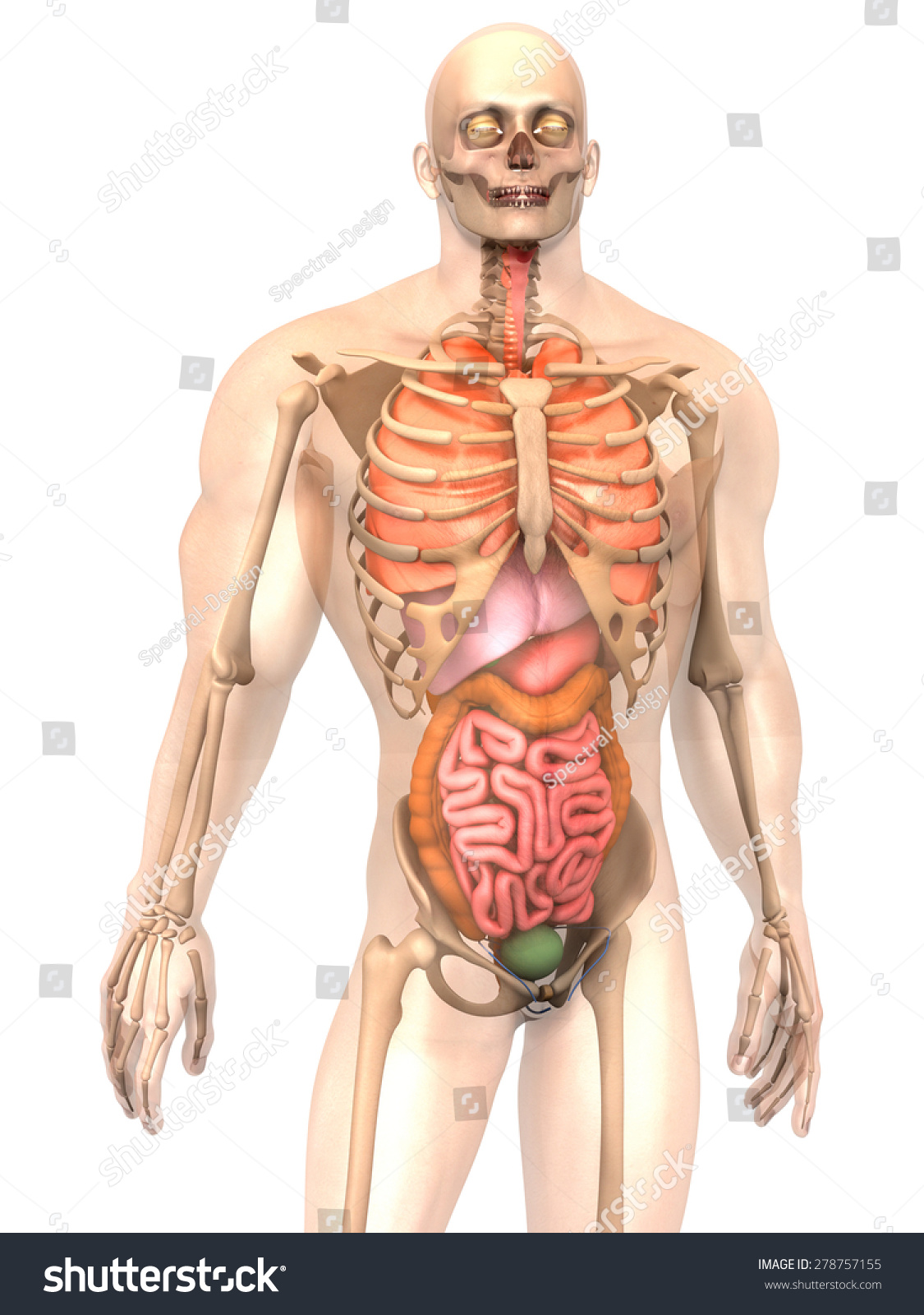3 D Visualization Human Anatomy Internal Organs Stock Illustration