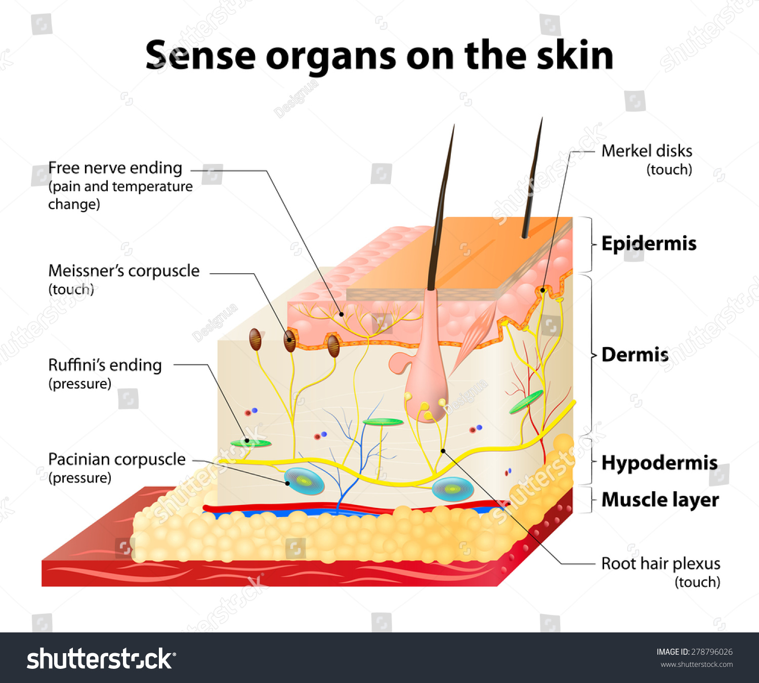 the skin and sensation physiology Human physiology/integumentary system the integumentary system consists of the skin  sensation and vitamin d and b synthesis skin is considered one of the.