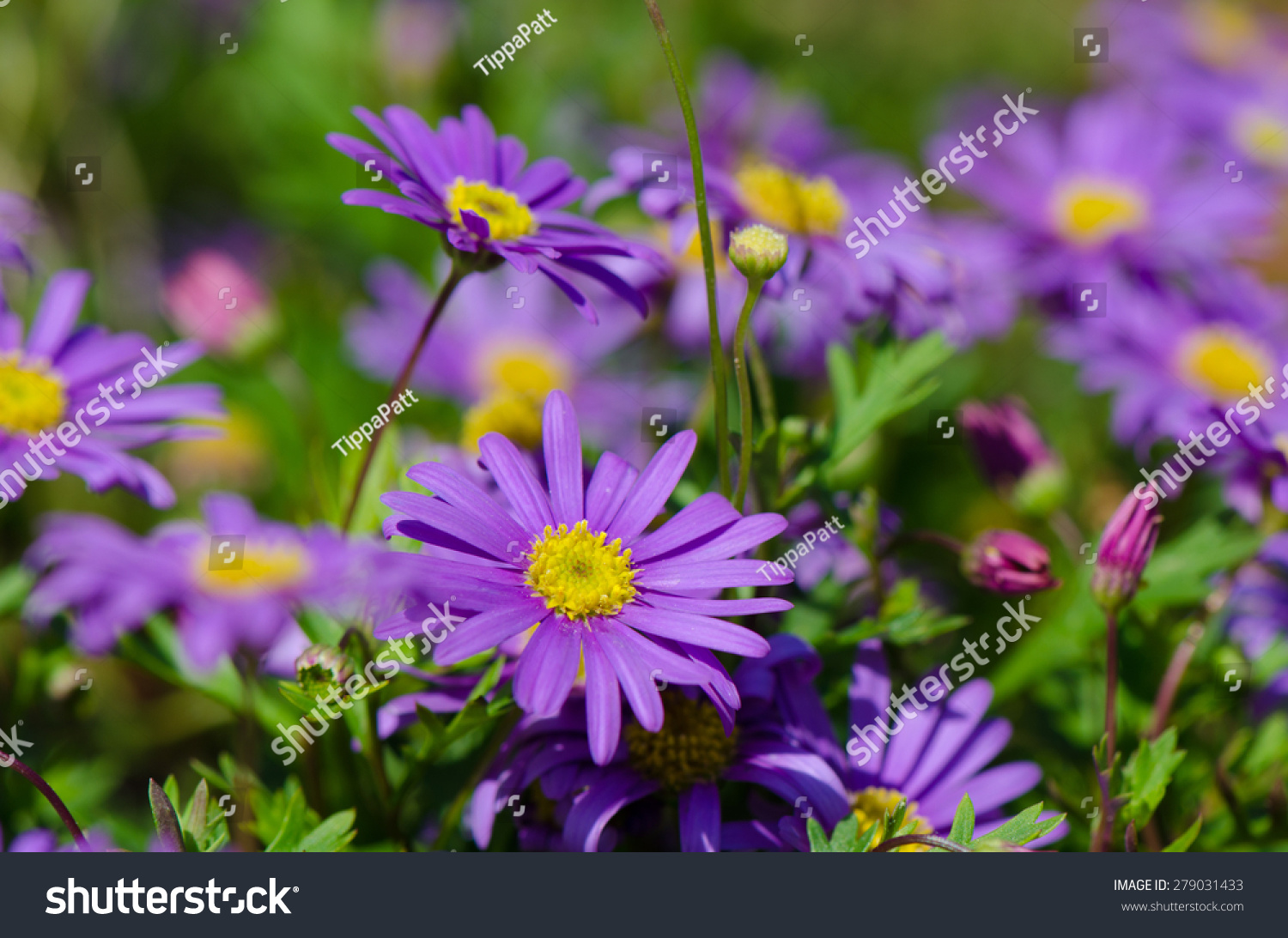 Purple daisy flowers in the garden ez canvas id 279031433 izmirmasajfo