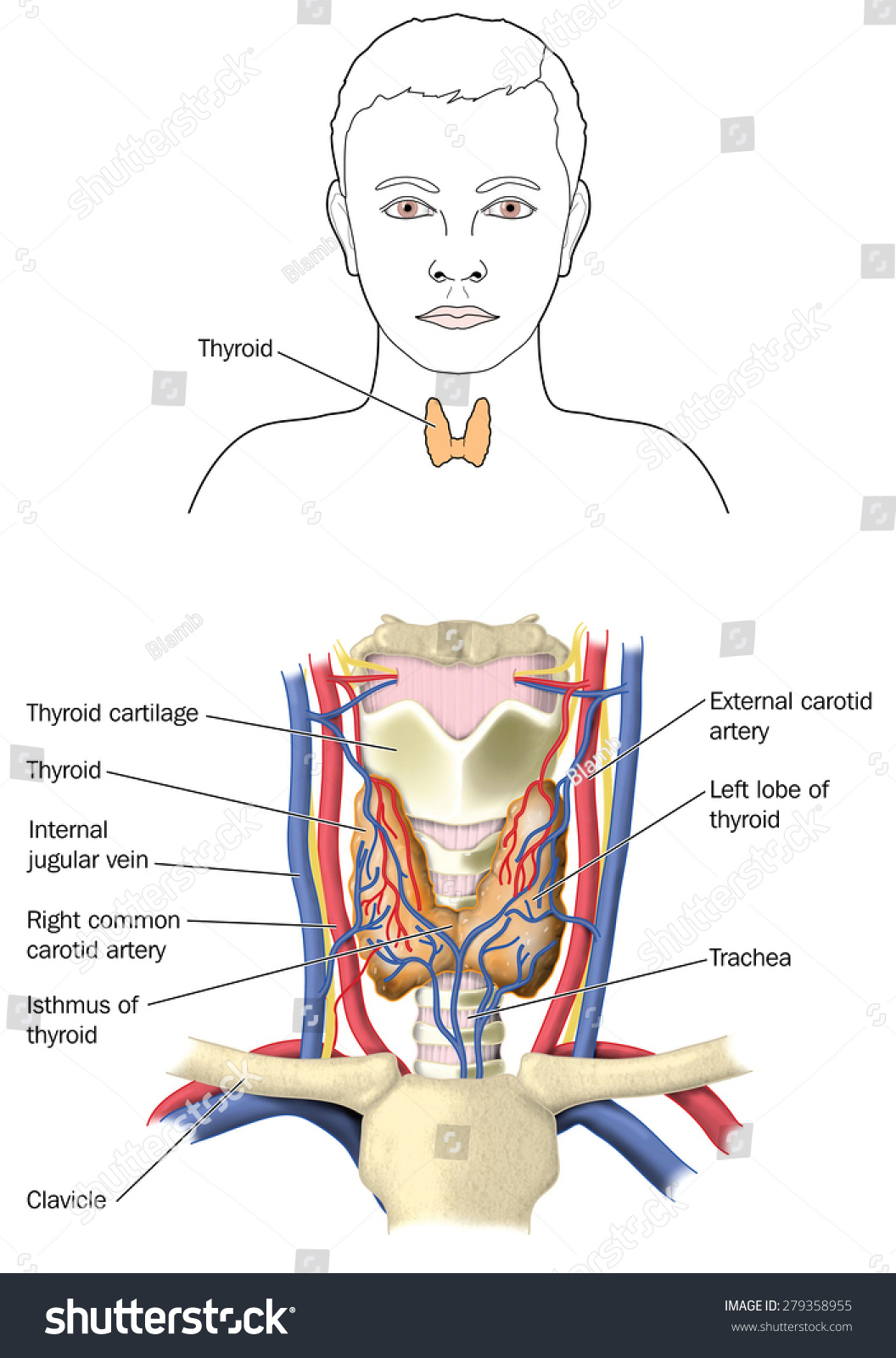 Location Relative Anatomy Thyroid Gland Showing Stock Illustration ...