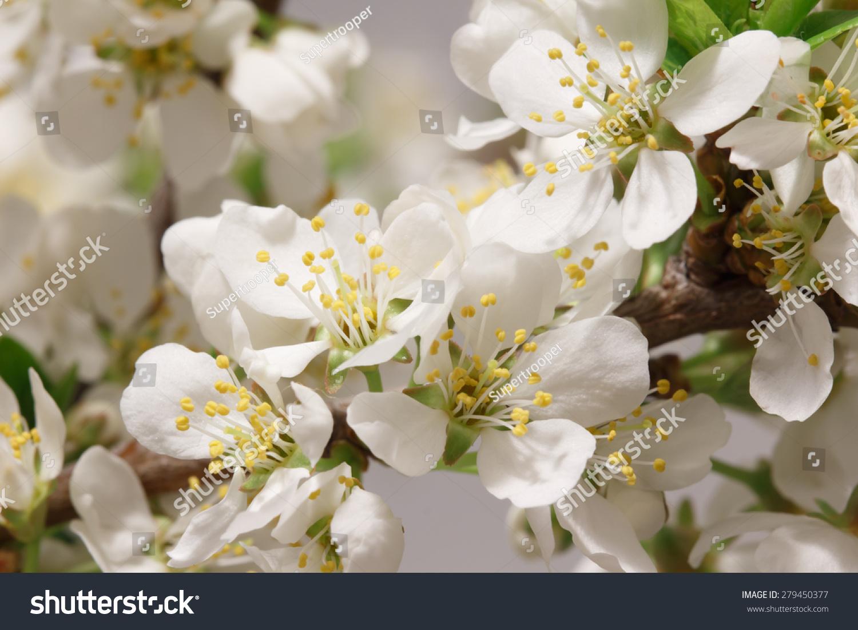 Mayflower Flower Branch Lots White Flowers Stock Photo Edit Now