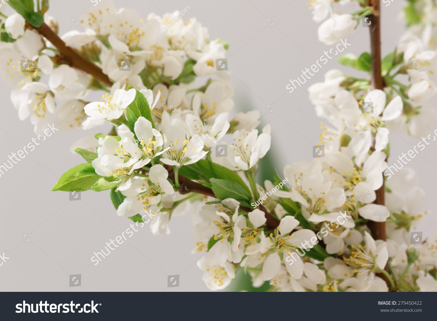 Balmy Breath Spring Branch Lots White Stock Photo Royalty Free