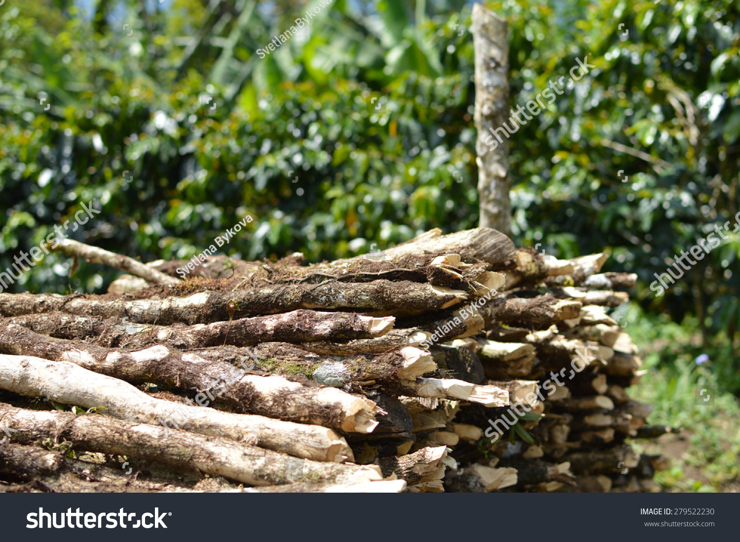 coffee trees logs used firewood cook stock photo edit now