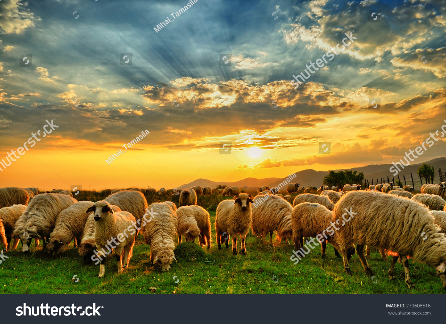 stock-photo-flock-of-sheep-grazing-in-a-